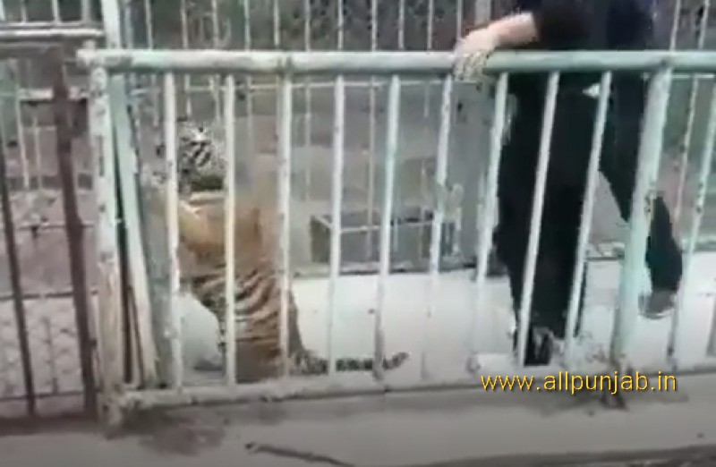 Baby Tiger attacks  in zoo - Must Watch