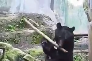 Bear playing with wood stick