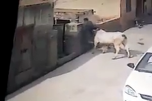 Cow attacks on man in the street