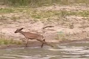 Crocodile Attacks Deer in River - Deer Drinking Water in River