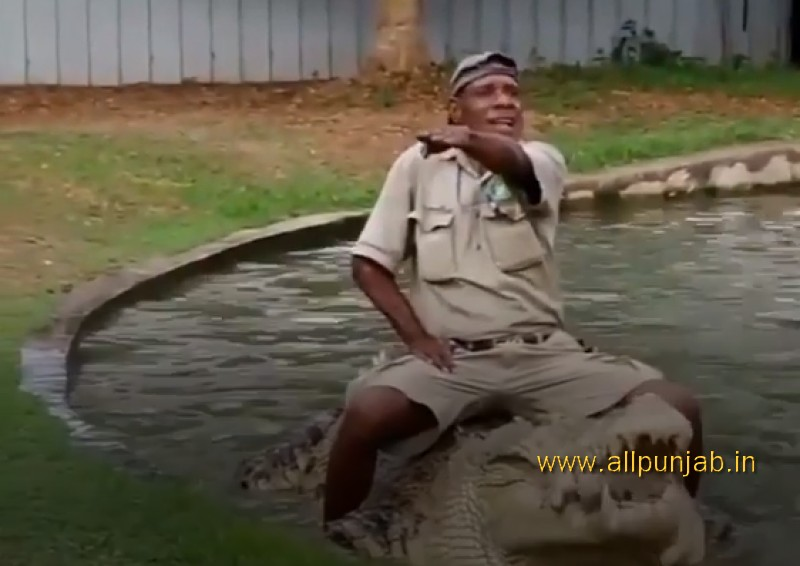 Crocodile eats chicken alive