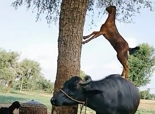 Goat stands on buffalo for eating leaves