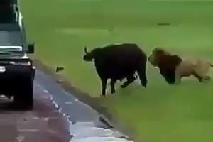 Lion Vs Buffalo - Wild Life