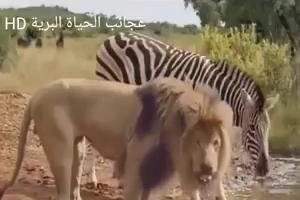 Lion attacks on Zebra
