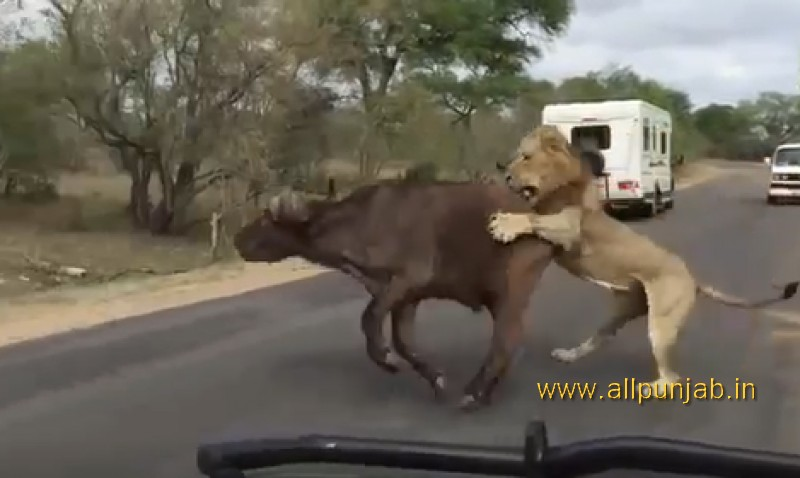 Lions Attack Buffalo on Road
