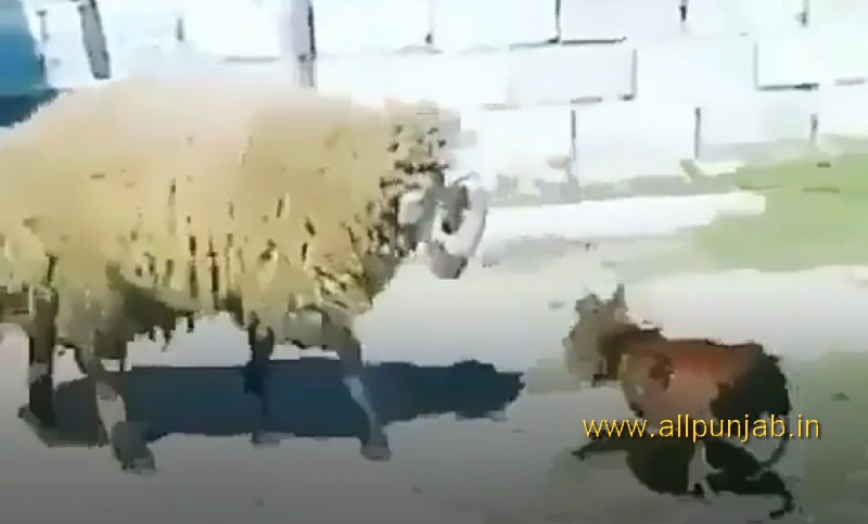 Sheep VS Rooster `Fighting