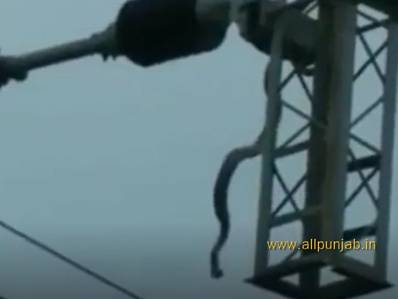 Snake Chases Birds on Power Line