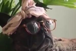 Watch how Dog sitting like Boss wearing specs - Funny Video