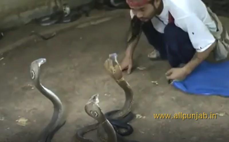 Cobra Man has 1000 Cobras as pets - He Selecting Cobras For Snake Show