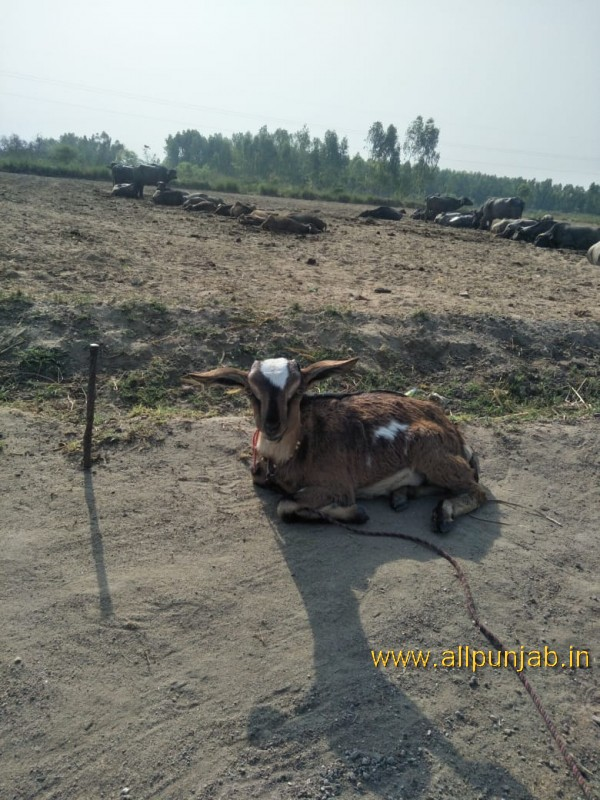 Baby cow sitting in field - Punjab Images