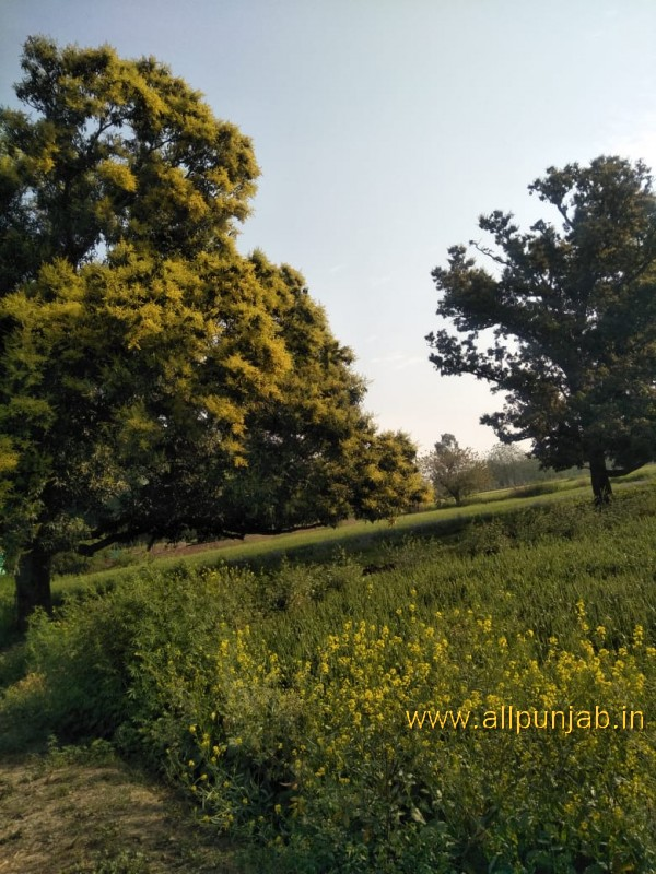 Mango Tree Before Its Fruiting - Punjab Images