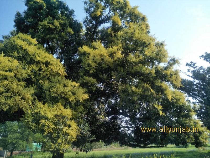 Mango tree before its Fruiting - Punjab Images INDIA